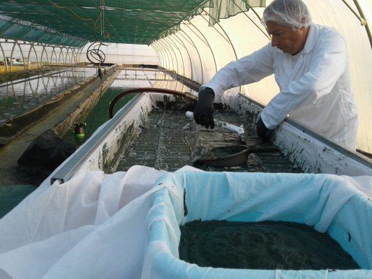 Artisanal spirulina production